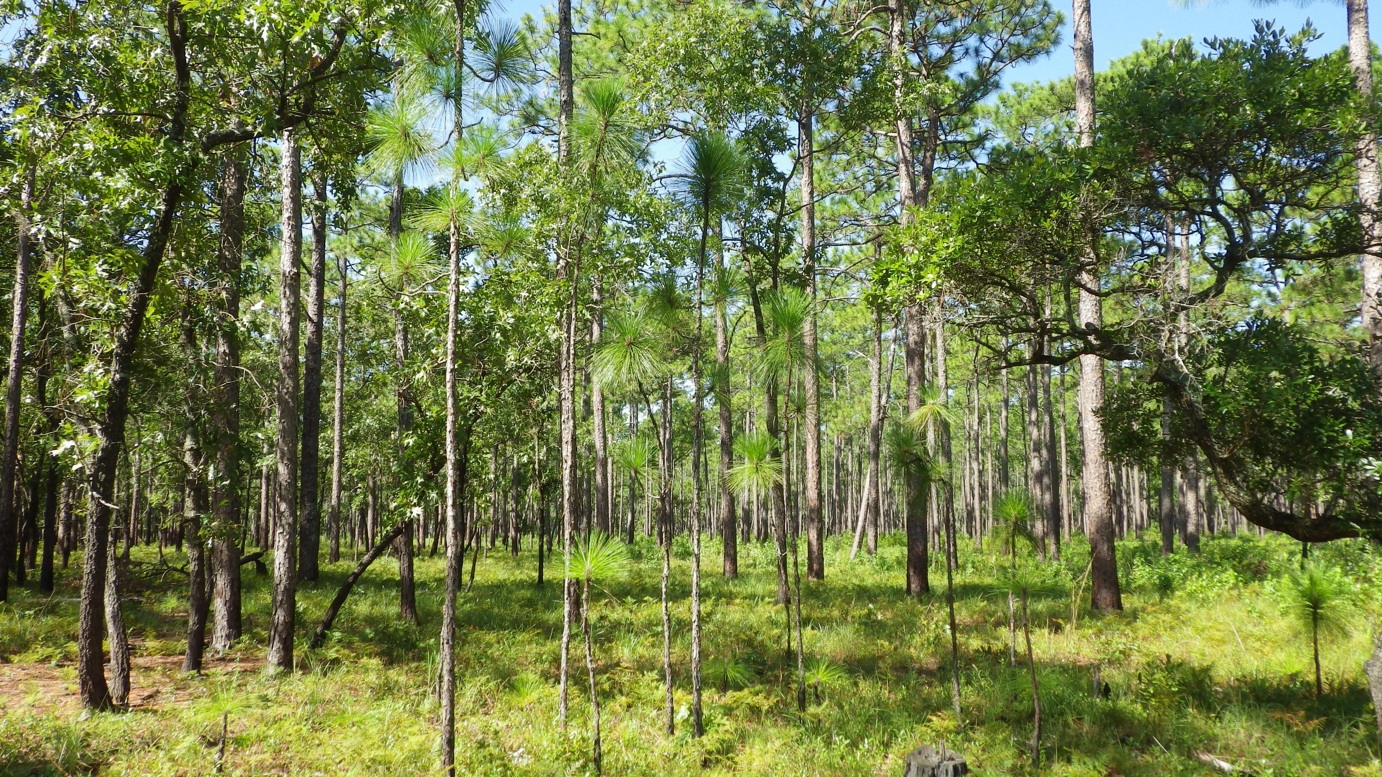 Longleaf saplings